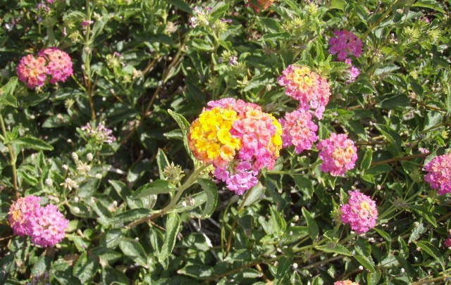 LANTANA, A REAL EYE CATCHER