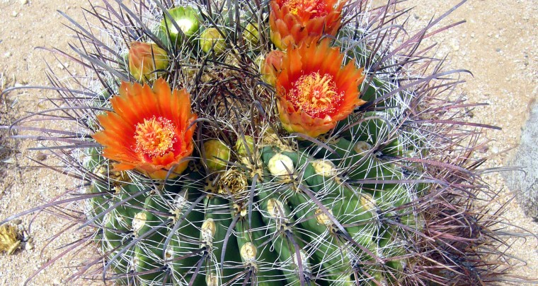 The Barrel Cactus