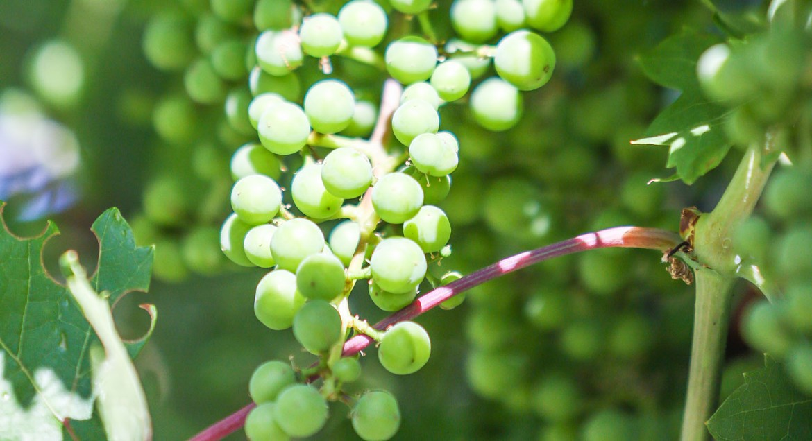 Grapes take work, especially in the early years, but once established they will become a staple in your landscape.