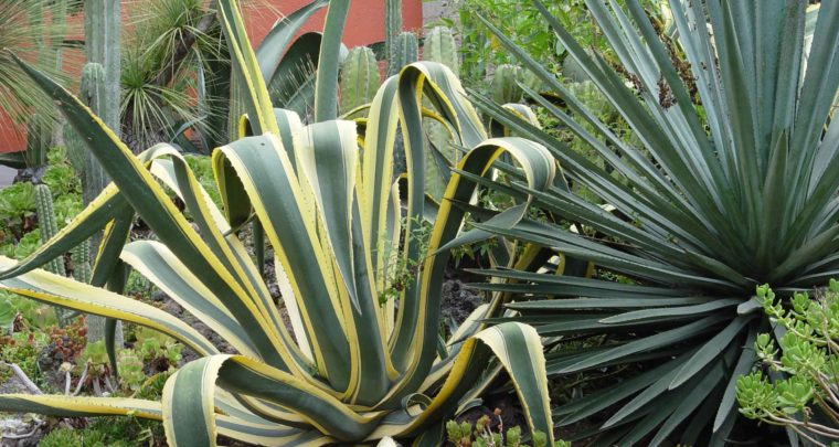 Agaves & Aloes