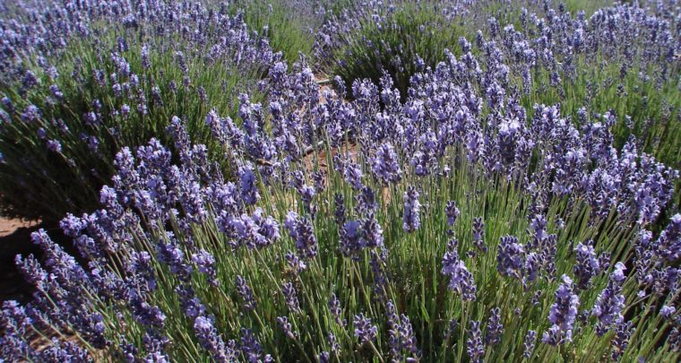 Lavender in Lake Havasu